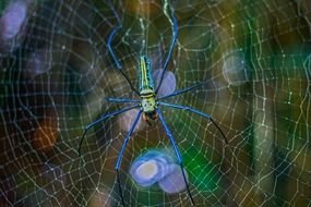 blue spider on the web