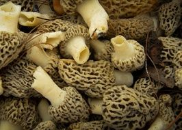 Mushrooms Morels