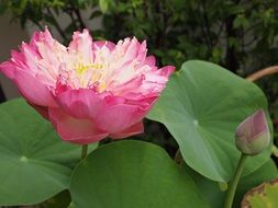 Beautiful blossoming lotus flowers