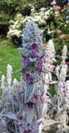 most beautiful Lambs Ear Plant