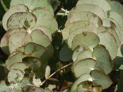 Eucalyptus Leaves Tree