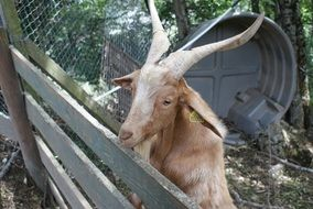 Domestic Goat on a farm