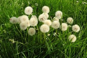 cluster of dandelion flowers
