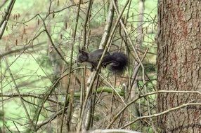 Black squirrel in nature