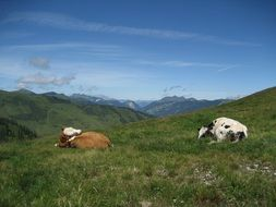 two cows lie on an alpine meadow
