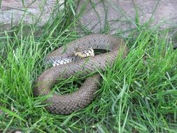 non-hazardou snake in the green grass