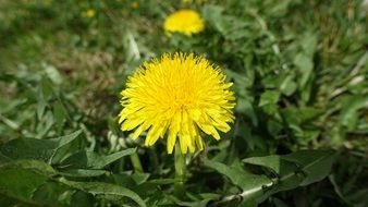 yellow dandelion in spring