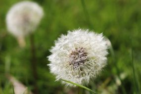 dandelions with fluffy flying seeds on a green field