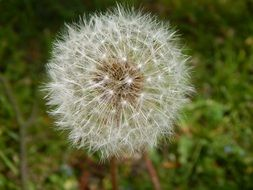 dandelion is a plant with flying seeds