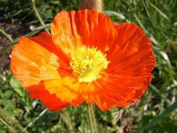 Poppy Klatschmohn Orange Flower