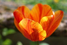 colorful tulip in the glare of sunlight