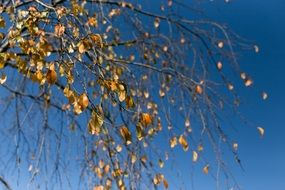 yellow Autumn Leaves at blue sky