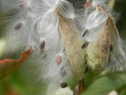 seeds in fluff close up