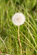 dandelion on a thin stalk in the green grass