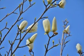 white buds on a tree branch in spring