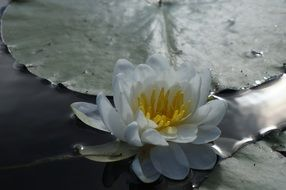 white lotus on a pond in sunny glare