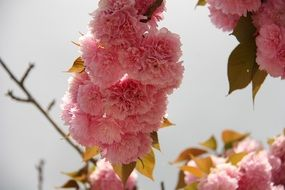 pink fluffy japanese cherry flowers