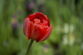red tulip on blurry background close-up