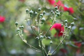 green buds of a rose close-up