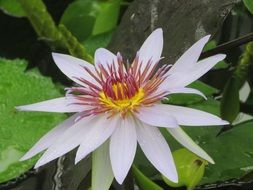 closeup of a pale purple water lily