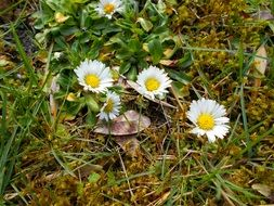 wild daisies on the meadow
