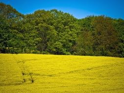 scenic field of rapeseeds