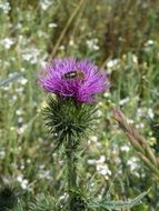 black insect sits on a thistle
