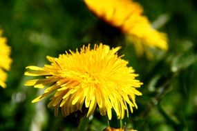 yellow dandelions for medicinal tinctures