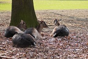 roe deer resting in the forest