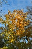 tree with yellow foliage in late autumn
