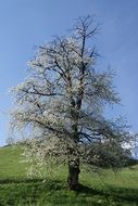 meadow cherry blossom tree