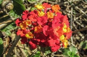 red Lantana Flowers Floral bloom