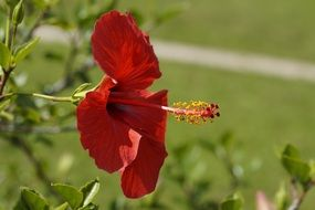 red hibiscus in profile close-up