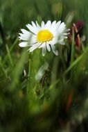 white daisy in a green meadow