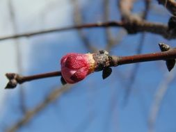 bud of pink spring flowering on a branch close-up
