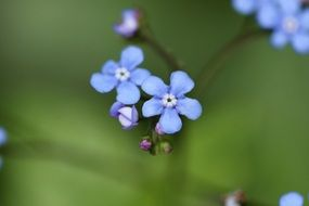 perennial blue flower close-up
