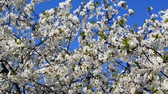 cherry in a lush spring blossom against a bright blue sky