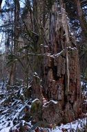 rotten stump in the winter forest
