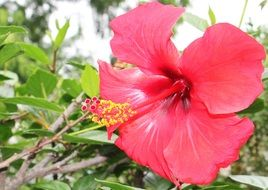 big red flower of Hibiscus