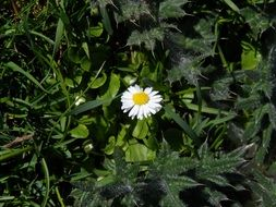 white daisy with pointed petals among green plants