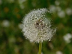 the flying dandelion seeds