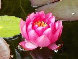 pink water lily on the water next to green leaves