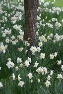 glade of white daffodils under a tree