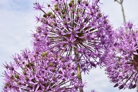 purple spherical inflorescences of a ornamental onion