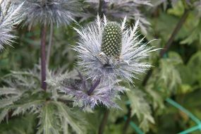 ivory thistle blossoms