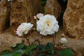White Roses blooming at rough stones