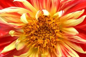 Flower Nature Dahlia Yellow Red macro scene