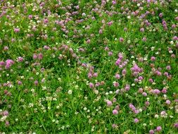 clover flowers on a green meadow