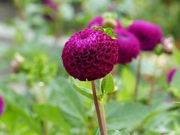 spherical purple dahlia close-up