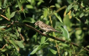 gray sparrow on a branch of a green tree
